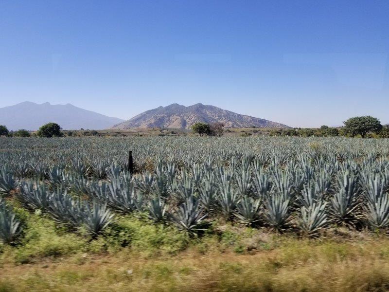 テキーラのアガベ畑