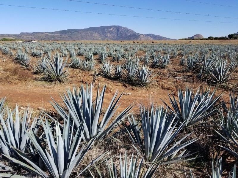テキーラの原料、「アガベ」という植物