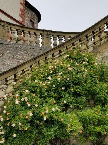 マリエンベルク要塞。領主の庭園のバラ。