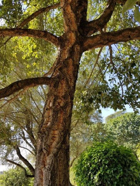 ナパのスタッグス・リープ・ワイナリー (Stags' Leap Winery)。コルクの木。