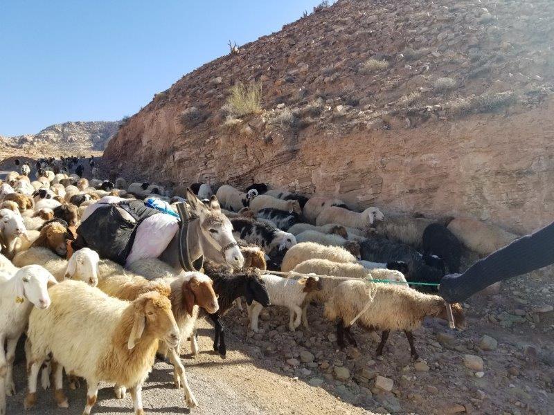 ヨルダン旅行・死海リゾートからペトラまでの道のり。羊の群。